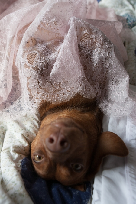 Rudzia the sausage dog conducting careful quality control on this 1950s chantilly leavers lace.